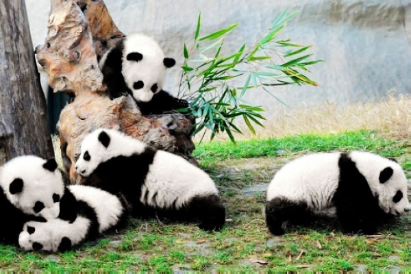 Chengdu Giant Panda Breeding Center